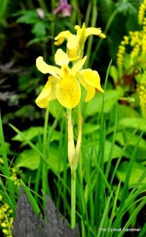 Iris Forestii