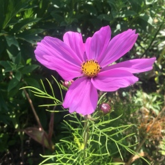 Cosmos Pinky
