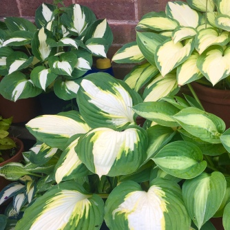 Hostas in the shade