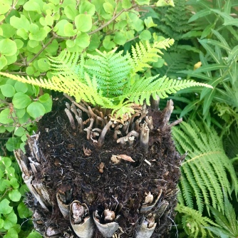 Skip rescued Tree Fern