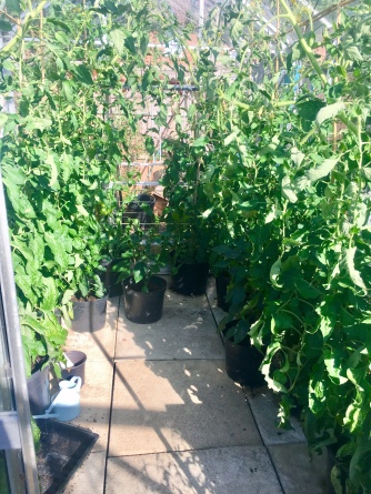 Tomato packed Greenhouse