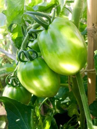 Jugo Tomatoes
