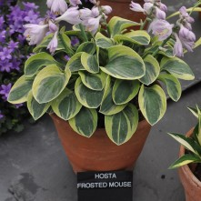 Hosta Frosted Mouse