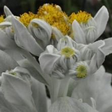 Senecio Angel Wings Flowers