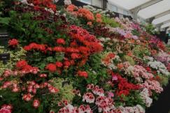 Fibrex Pelargoniums