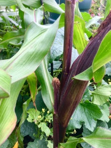 Double Red Sweetcorn
