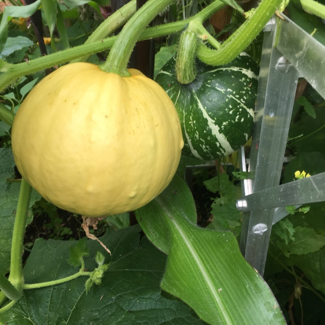 Possibly Sucrette Squash & unknown Squash