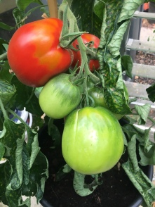 Tomato for seed