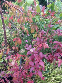 Autumn Foliage on my Blueberry