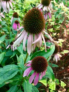 Exhausted Echinacea