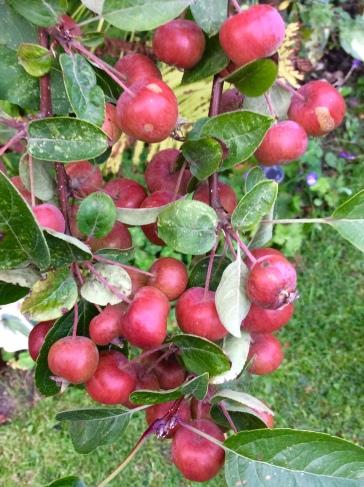 Malus fruits