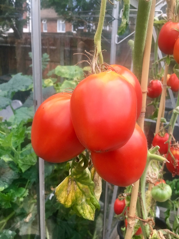 Jugo Tomatoes in the Greenhouse