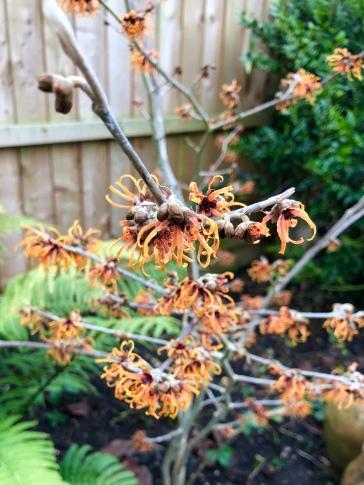 Hamamelis × intermedia 'Jelena',