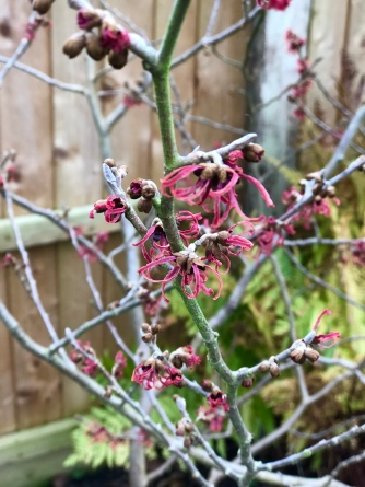 Hamamelis intermedia Magic Fire