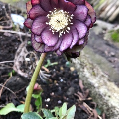 Unknown Hellebore