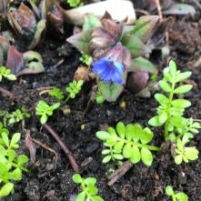 Pulmonara & Limnanthes douglasii seedlings