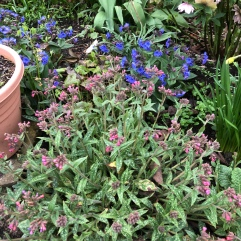 Pulmonaria Raspberry Ripple (Foreground), Blue Ensign behind.