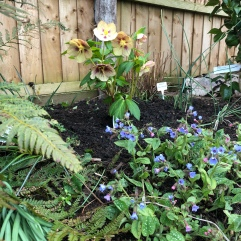 Opal with newly planted Hellebore