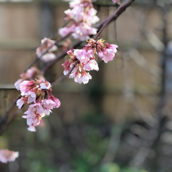 Iford Cherry