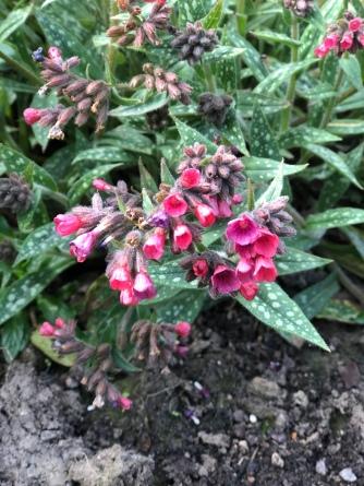 Pulmonaria Raspberry Ripple