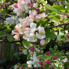 Malus blossom