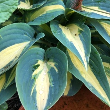 Hosta Timeless Beauty