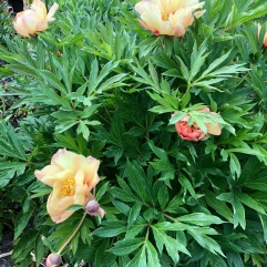 Peony Magical Mystery Tour