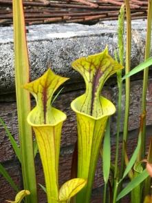 Sarracenias
