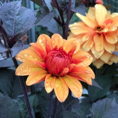 Dahlia lost label