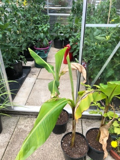 Tomato plants with Musa Musa sikkimensis in the foreground