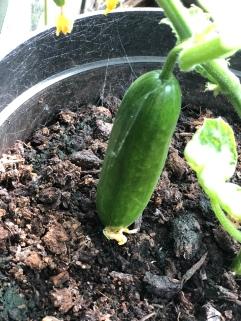 An actual cucumber