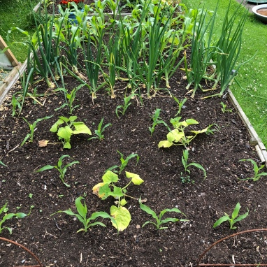 Sweetcorn planted up with squash